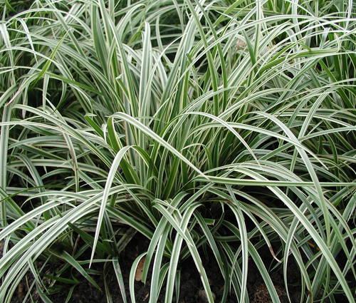 Produktbild Carex morrowii var. foliosissima 'Silver Sceptre'