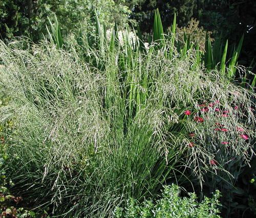 Produktbild Eragrostis curvula