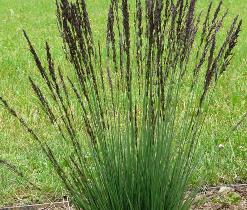 Produktbild Molinia caerulea 'Moorhexe'