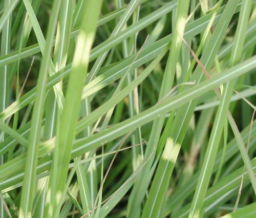 Produktbild Miscanthus sinensis 'Pünktchen'