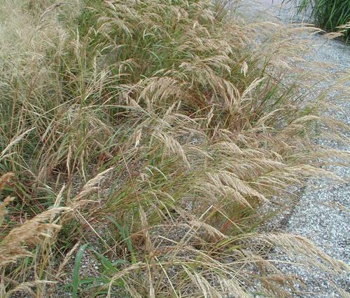 Produktbild Stipa calamagrostis