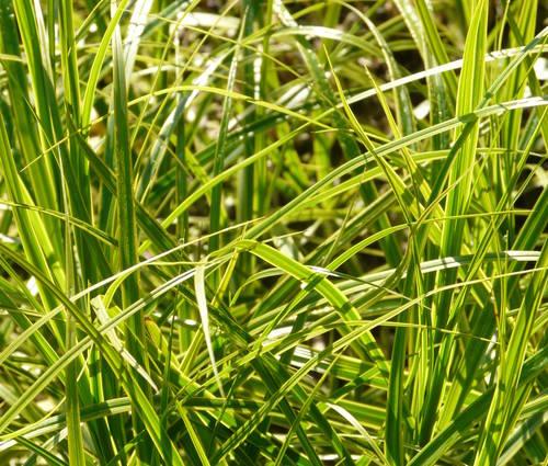 Produktbild Carex muskingumensis 'Oehme'