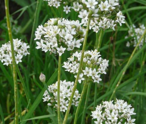 Produktbild Allium tuberosum 'Monstrosum'
