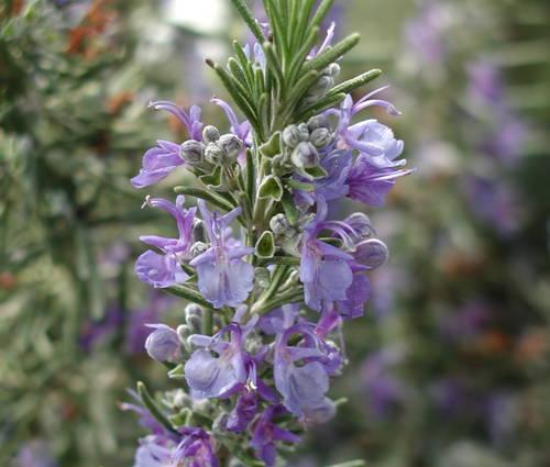Produktbild Rosmarinus officinalis 'Blaulippe'