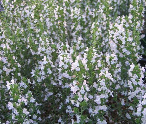 Produktbild Satureja montana