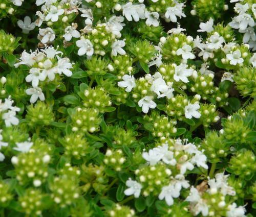 Produktbild Thymus serpyllum 'Albus'