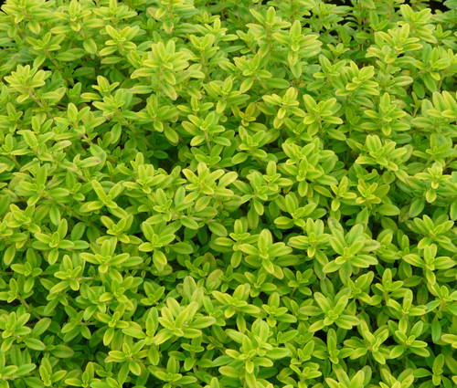 Produktbild Thymus x citriodorus 'Aureus'