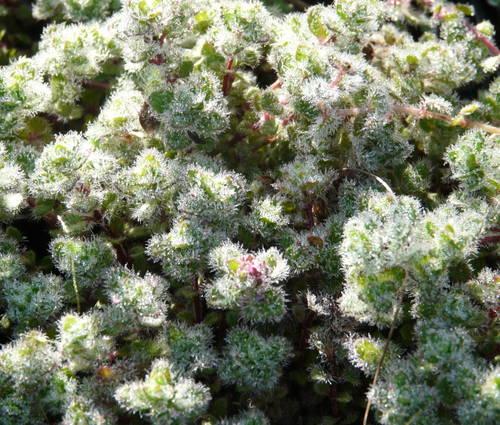 Produktbild Thymus praecox var. pseudolanuginosus