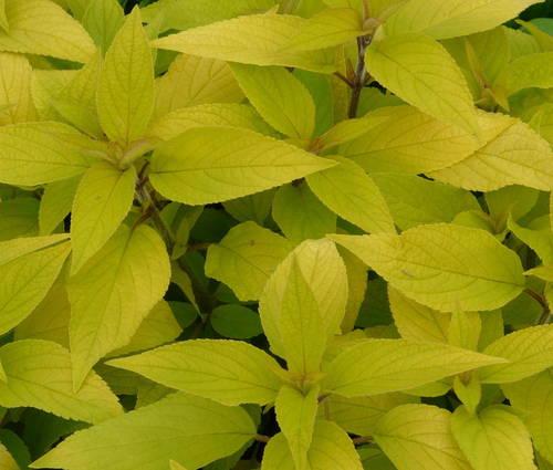 Produktbild Salvia rutilans 'Golden Delicious'