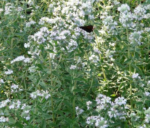Produktbild Pycnanthemum pilosum