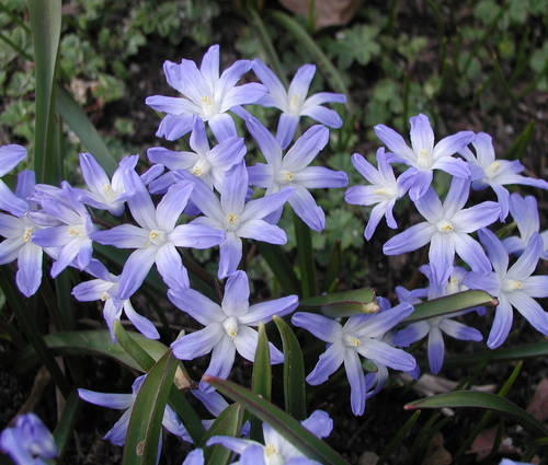 Produktbild Chionodoxa luciliae