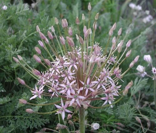 Produktbild Allium schubertii