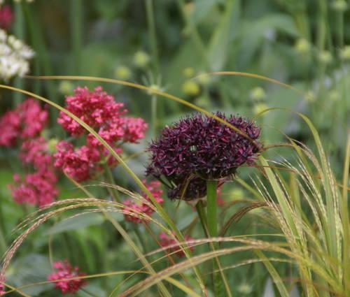 Produktbild Allium atropurpureum