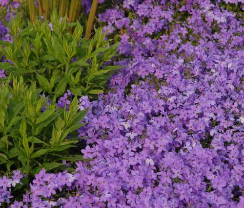 Produktbild Phlox stolonifera 'Violet Velvet'