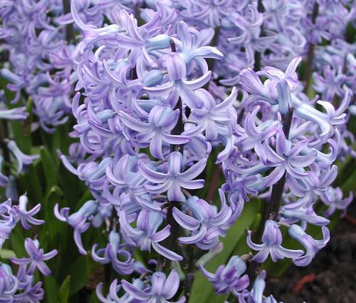Produktbild Hyacinthus orientalis 'Blue Festival'