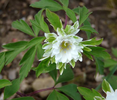 Produktbild Anemone nemorosa 'Bracteata Pleniflora'