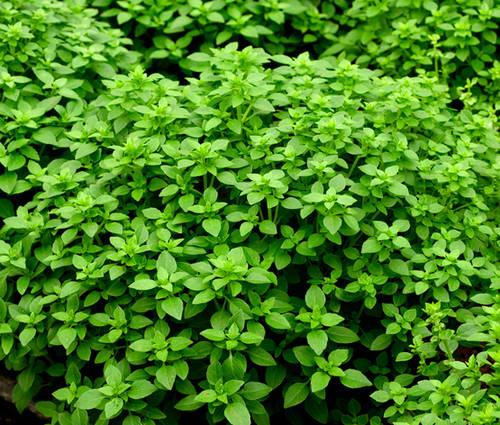 Produktbild Saatgut: Busch-Basilikum