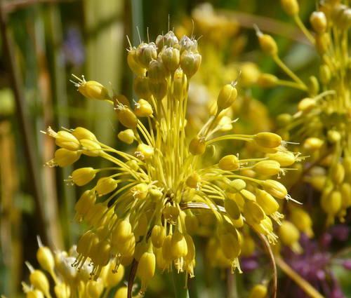 Produktbild Allium flavum