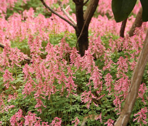Produktbild Corydalis solida ssp solida 'Beth Evans'