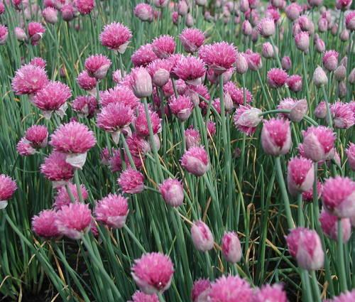 Produktbild Allium schoenoprasum 'Forescate'