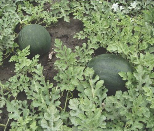 Produktbild Saatgut: Wassermelone 'Sugar Baby'