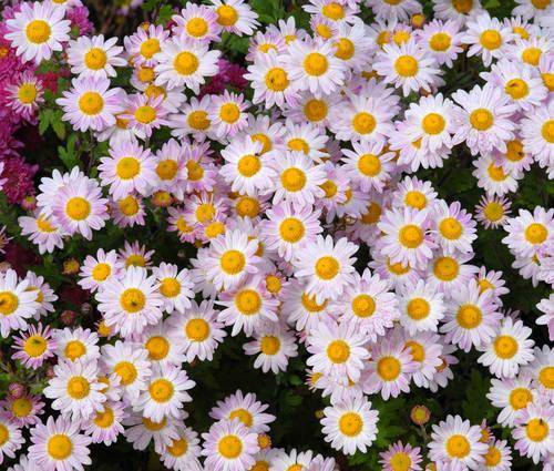 Produktbild Chrysanthemum Indicum-Hybride 'Hebe'
