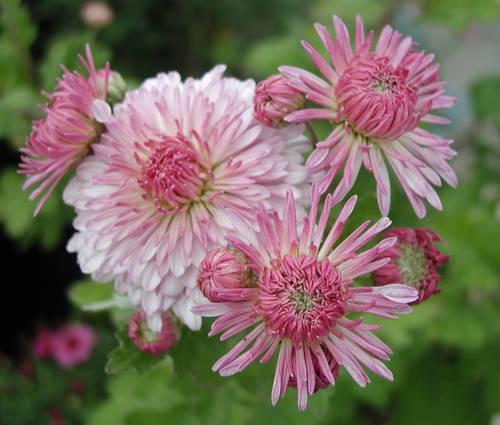 Produktbild Chrysanthemum Indicum-Hybride 'Nebelrose'