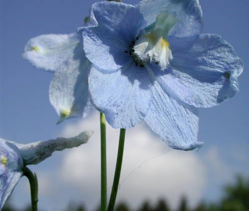 Produktbild Delphinium Belladonna-Hybride 'Capri'