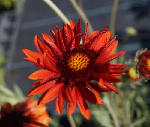 Produktbild Gaillardia x grandiflora 'Tokajer'