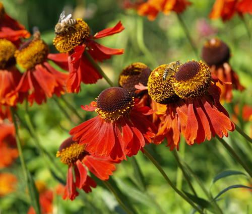 Produktbild Helenium Hybride 'Moerheim Beauty'