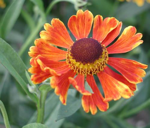 Produktbild Helenium Hybride 'Waltraut'