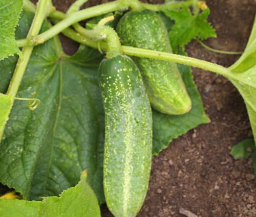 Produktbild Saatgut: Einlegegurke 'Vert Petit de Paris'