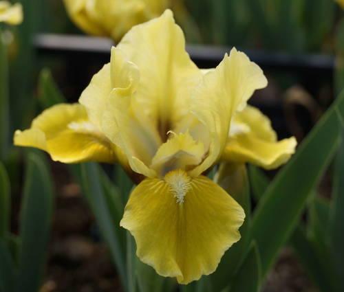 Produktbild Iris barbata-nana 'Toskanerprinz'