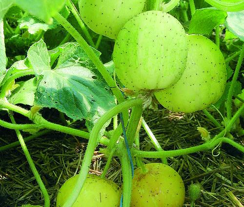 Produktbild Saatgut: Freilandgurke 'Limona'