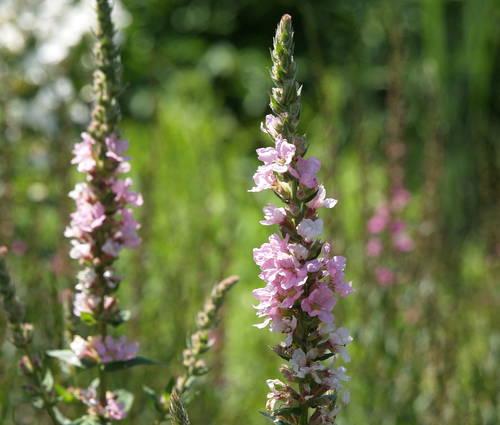 Produktbild Lythrum salicaria 'Blush'