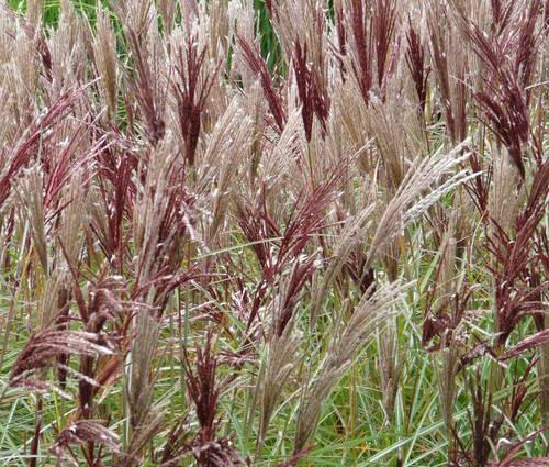 Produktbild Miscanthus sinensis 'Red Chief'