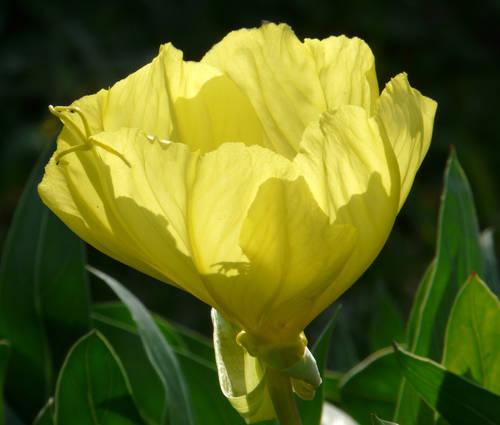Produktbild Oenothera missouriensis