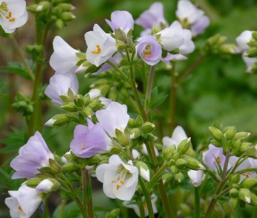 Produktbild Polemonium caeruleum 'Hopleys'