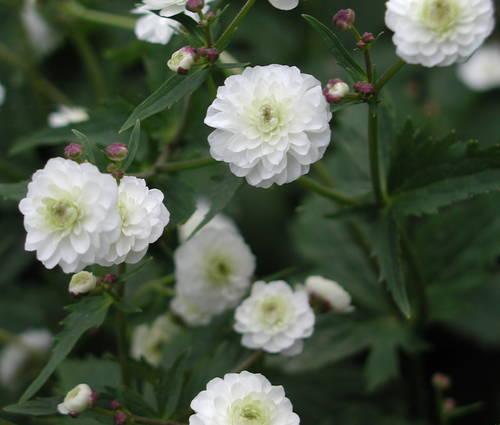 Produktbild Ranunculus aconitifolius 'Pleniflorus'