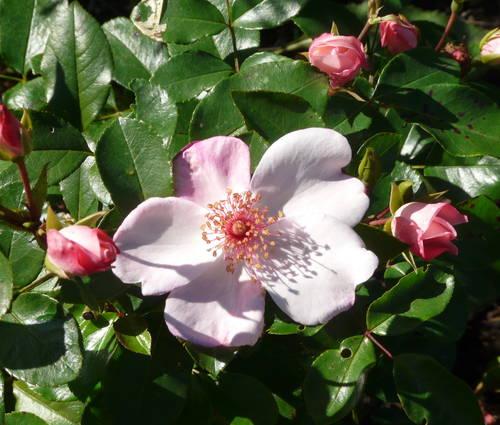 Produktbild Rosa 'Sweet Pretty'