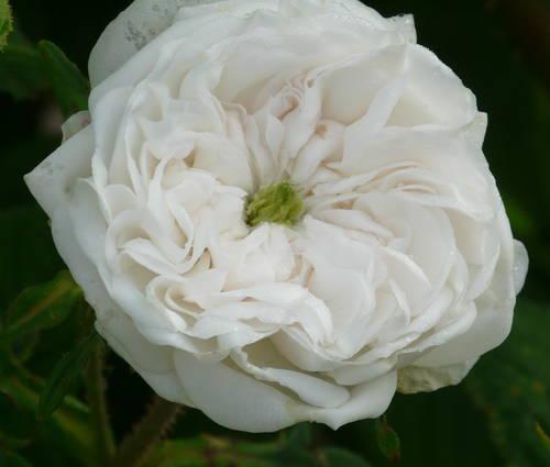 Produktbild Rosa x damascena 'Madame Hardy'- Damaszener-Rose