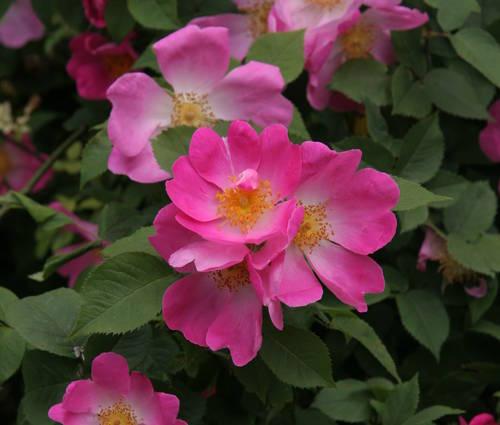 Produktbild Rosa gallica 'Complicata'