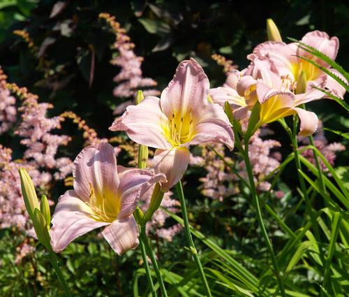 Produktbild Hemerocallis Hybride 'Catherine Woodberry'