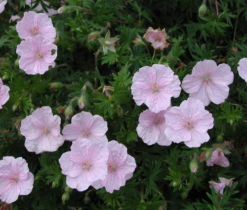 Produktbild Geranium sanguineum var. striatum