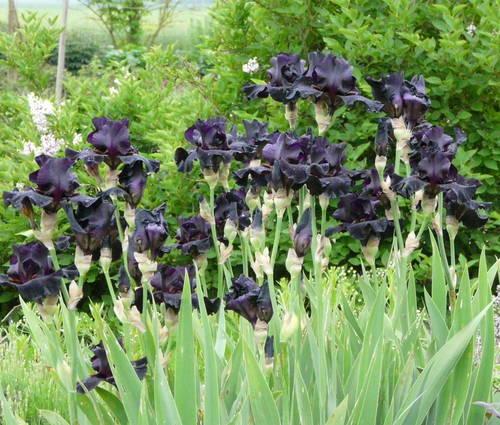 Produktbild Iris barbata-elatior 'Old Black Magic'