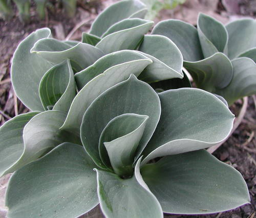 Produktbild Hosta Hybride 'Blue Mouse Ears'