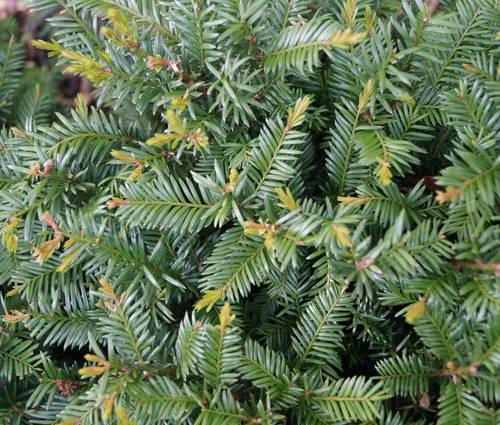 Produktbild Taxus baccata 'Renke's Kleiner Grüner' ®