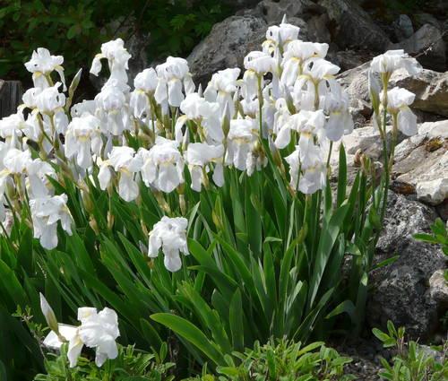 Produktbild Iris germanica 'Florentina'