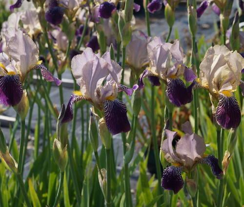 Produktbild Iris sambucina