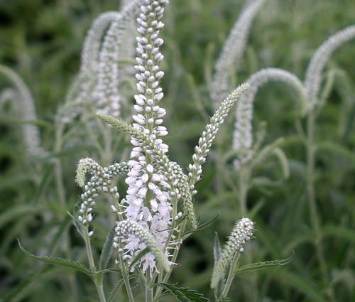 Produktbild Veronica longifolia 'Schneeriesin'